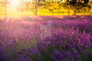Lavender Sunset by hk-passey