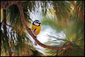a Blue Tit by jjuuhhaa