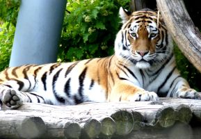 Stock Photo: Tiger by elisafox-stock