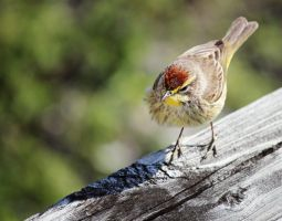 Palm Warbler by flowerhippie22