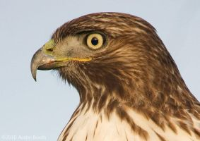 Profile of a Red-Tail by austinboothphoto