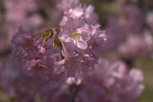 Cherry Blossoms 03 by EchoBinary
