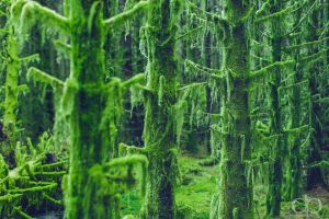Lychen Trees by Dapicture