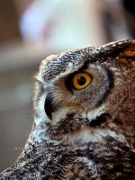 American Horned Owl by firegold