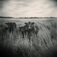 The Cows by cylan