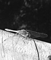 dragonfly by afyllian