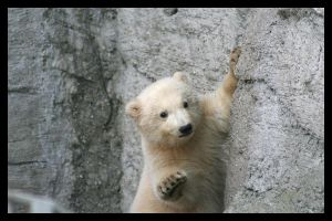 Baby polar bear by AF--Photography