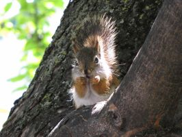 Red Squirrel 0523 by CitizenOlek