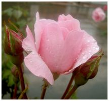 Rose under the rain by carulina