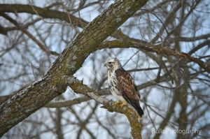 Hawk by BullaPhotography