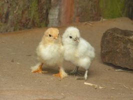 Pair of Chicks 2 by KurenaiSensei7912