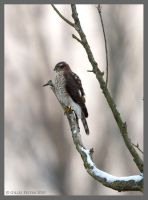 Eurasian Sparrowhawk by Swordtemper