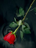 RED ROSE 1 by claforce