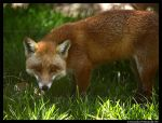 Fantastic Mr Fox III by TVD-Photography