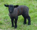 Spring Lambs 12 by lorry
