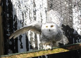 Snowy Owl Stock 5 by LRG-Photography