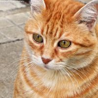 Orange cat 5 by FrancescaDelfino