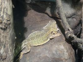 Adelaide Zoo 2014: Bearded Dragon 01 by lizardman22
