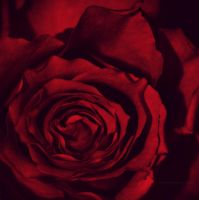 tell me, tell me, little rose by Shadows-in-Twilight