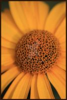 Heliopsis by angel739