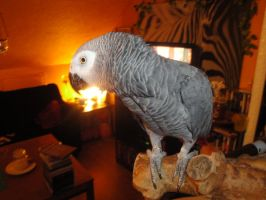 My Grey Parrot by Jullelin