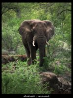 African Elephant V2 by danishdragon