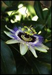 Passion Flower by deppismmmm