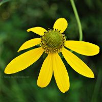 Pure Yellow by Simina31