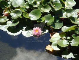 Lily and Lily Pads by Lillagon