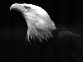 American Bald Eagle by Crimsoneyes26