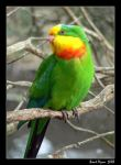 Preening Parrot by DarthIndy
