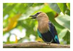 Blue Bellied Roller by JRose-Photography