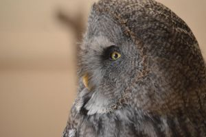 Great Grey Owl by Trigger-Photography
