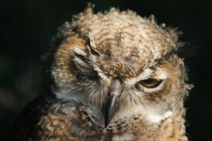 Great Horned Owl by AllAboutBirds
