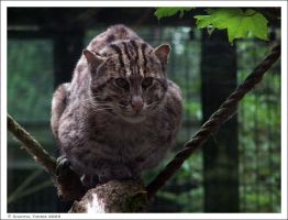 Fishing Cat 005 by ischarm
