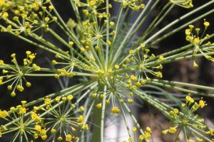 Dill in Flower by foquinha156