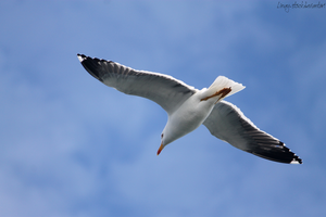 Gull 3 by Linay-stock