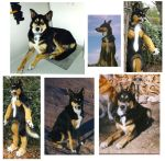 German sheppherd mutt compare by LilleahWest