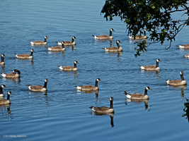 A Gaggle of Canada Geese by Mogrianne