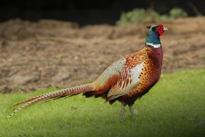 Pheasant by SWAT-Strachan
