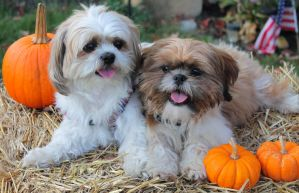 Fall Shih Tzu's by Murphy1210