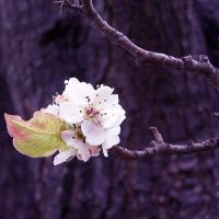 Callery Pear Blossoms by AcceptedOutcast