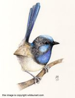 Superb Fairy Wren Polychromos by Wildsunart