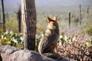 Lonesome Coyote by Phxpd-yote