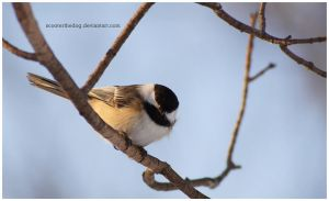 Chickadee 1 by ScooterTheDog