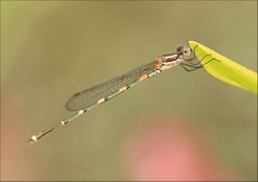 Wandering Ringtail Damselfly by Firey-Sunset