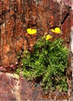 More poppies and lichen by KrazyKim