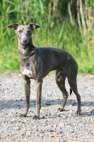 Mr Italian Greyhound by SaNNaS
