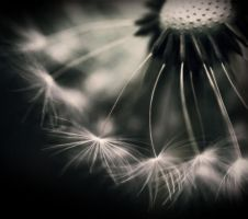 Dandelion soft focus by mehrandj7