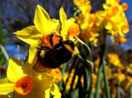 Daffodils and a Bumblebee by Aroha-Photography